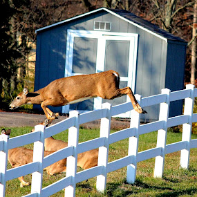 The Jump by Julia Nicely - Animals Other Mammals ( fence, herd, pwcmovinganimals, doe, outside, deer, jump )