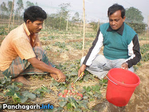Photo: Strawberry field in Panchagarh
