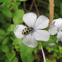 Besouro - Beetle