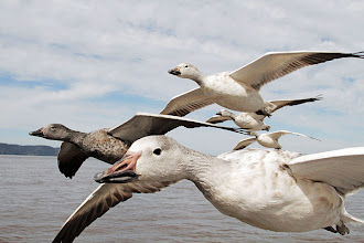 Photo: Earthflight's epic adventure begins in the Gulf of Mexico as 5 million snow geese prepare to fly the entire length of North America. Each spring, these families of geese head north on a gruelling 3,000-mile journey to the Arctic to breed  Photograph: Matthew Gordon/John Downer Productions/BBC