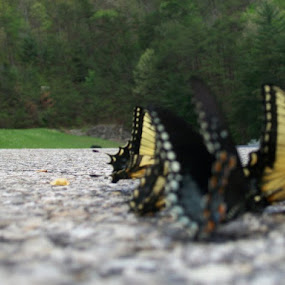 Butterflies love Mt. Dew by Jason Roe - Animals Insects & Spiders