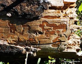 Photo: Bark beetle galleries, probably Dendroctonus sp.