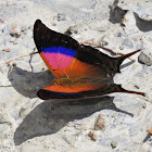 Marpesia Butterfly