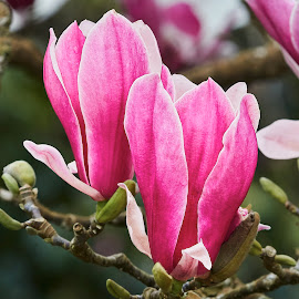 0 Magnolia 9906~ by Raphael RaCcoon - Flowers Tree Blossoms
