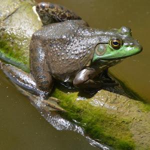 5-30-14 frog 4.jpg