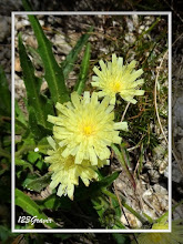 Photo: Epervière fausse chicorée, Hieracium intybaceum