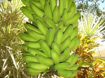 Let's Go Bananas!