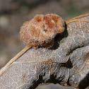 Hedgehog Gall Wasp