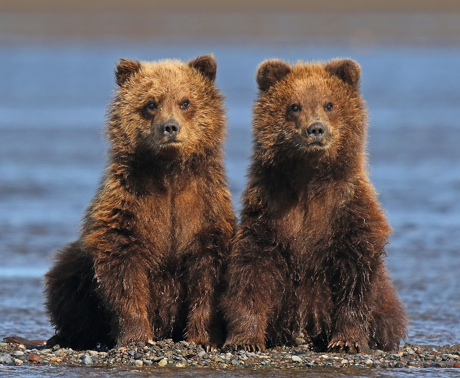 Twins ! by Anthony Goldman - Animals Other Mammals ( bear, wild, nature, lake clark, wildlife, cubs, brown, twins, mammal,  )