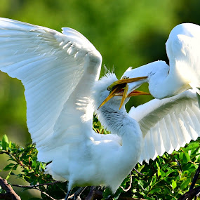 Mating Egrets by Ruth Overmyer - Animals Birds (  )