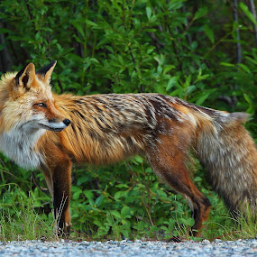 Back Glance by Pam Mullins - Animals Other Mammals ( fox, canada, nature, wildlife, bc, mammal )
