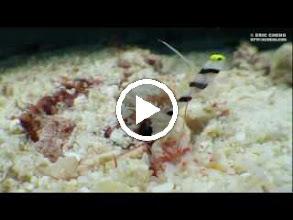 Video: Shrimp gobies and commensal shrimp, taken from 0 cm away.