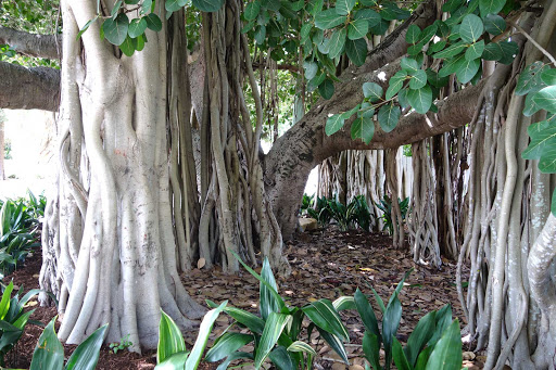 Australia-Brisbane-figtree - Closeup of Moreton Bay fig trees, or Australian banyan trees, at Shorncliffe in Brisbane, Australia.