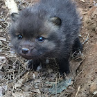 Red Fox cub