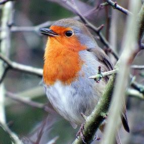 Singing robin  by Pat Regan - Animals Birds ( animals, nature, birds,  )