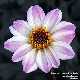 Bishop of Leicester  - Pion dahlia