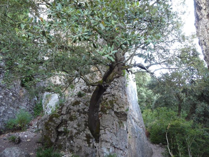 Árbore que xurde entre a rocha de La Rueca, en Etxauri.