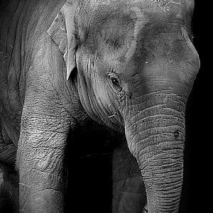 Elephant4 bw2.jpg