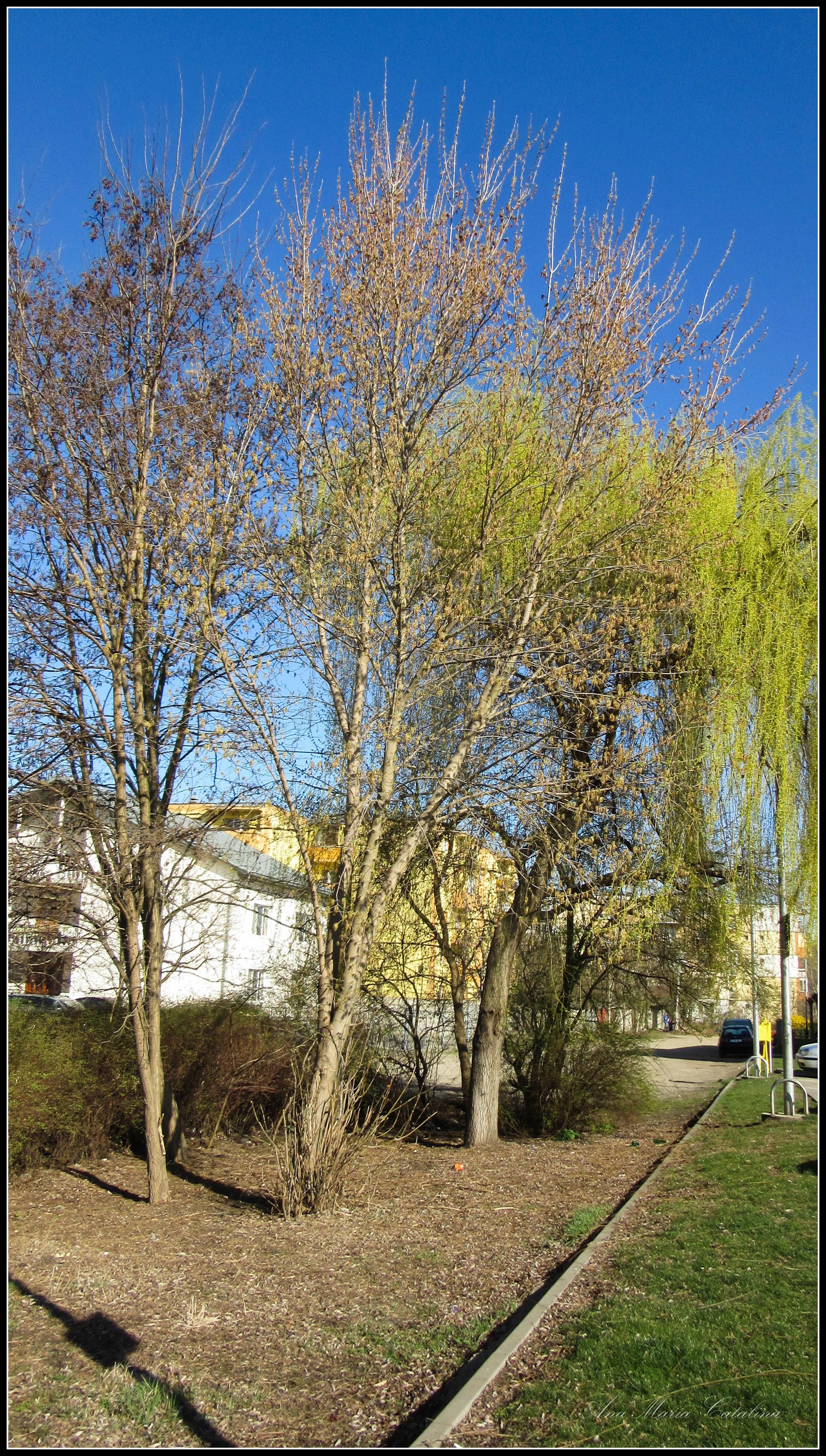 Photo: Artar American ( Acer negundo ) - de pe Calea Victoriei, Mr.3 - 2017.03.27