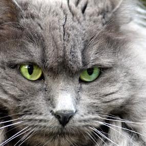 Fierce by Deborah Lucia - Animals - Cats Portraits (  )