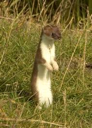 Image result for mustelid traps