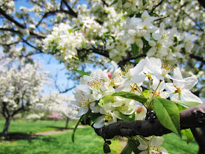 Photo: Lovely white apple blossoms at Cox Arboretum in Dayton, Ohio.