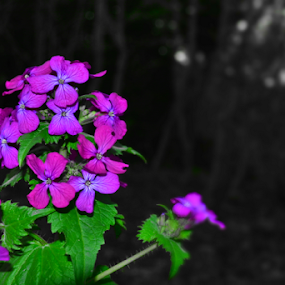 by Andrew Linstead - Flowers Flowers in the Wild ( wild, lone plant, selective color, purple, wild pant )