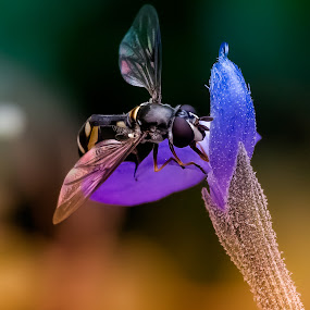 Fueling Up by David Hammond - Animals Insects & Spiders ( macro, animals, nature, colorful, insects, garden, flower,  )