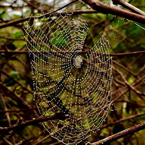 Voodoo Web by Debbie Squier-Bernst - Nature Up Close Webs (  )