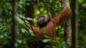 Orangutan on the Edge thumbnail