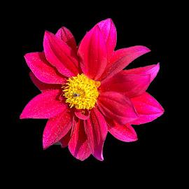 by Mohsin Raza - Flowers Single Flower