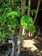 Photo: Drumstick Tree (Margosa) Bawa's Place MATALE Sri Lanka