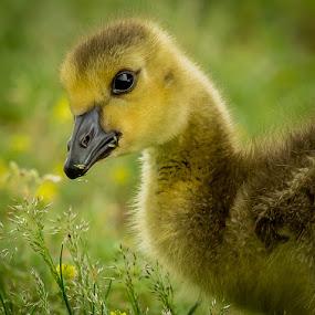 Happy Friday by Bill Killillay - Animals Birds ( bk photo, gosling, pwcbabyanimals, 2013, baby )