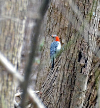Photo: red bellied woodpecker on nicholls farm photo by Chris Adams