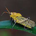 Saltamontes (Grasshopper)
