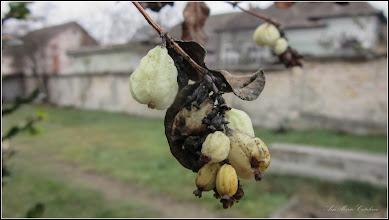 Photo: Hurmuz alb (Symphoricarpos albus)    - din Turda,  Str. Avram Iancu in curte  - 2018.12.04