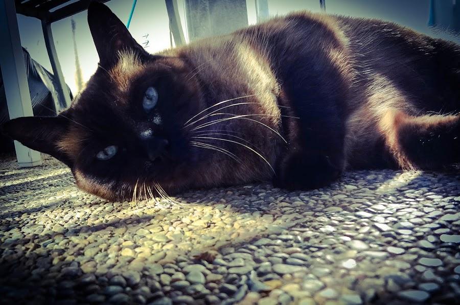 Siamese mix by Serenity Deliz - Animals - Cats Portraits ( cat, quietness, peace, refreshment, leisure, relaxation, quietude, quiet, kitty )