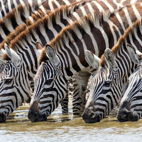 stripes by Anja Voorn - Animals Other