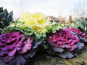 Photo: Purple and creamy colored cabbage at Wegerzyn Gardens in Dayton, Ohio.