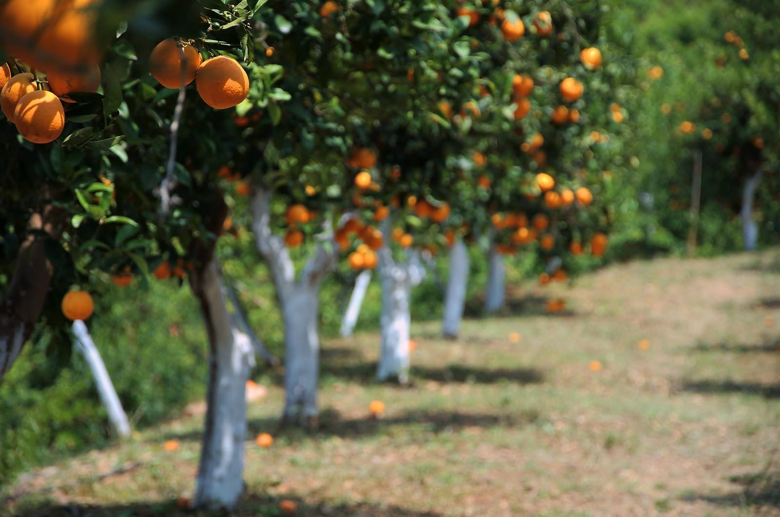 Orange Trees Crete.jpg