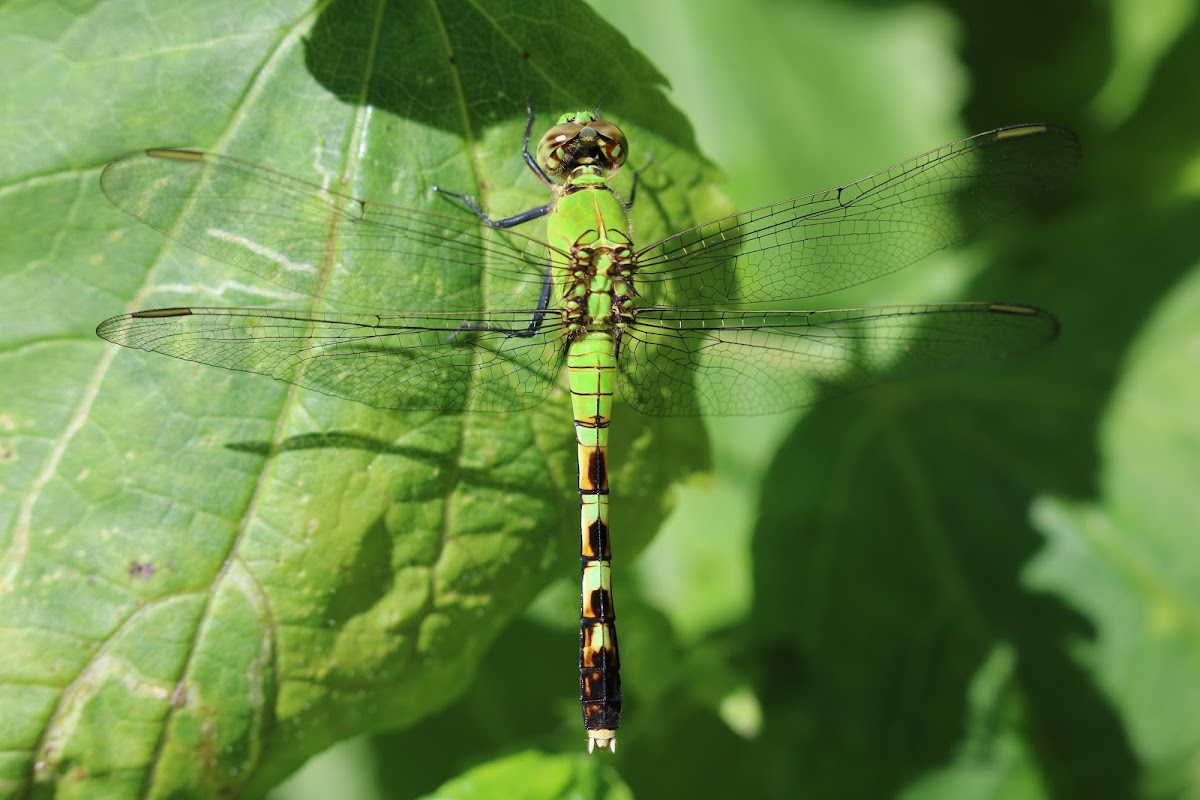 snaketail dragonfly