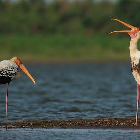 Painted stork by Saumitra Shukla - Animals Birds ( amazing, bird, wild, stork, colorful, color, beautiful, beak, wildlife, travel, morning )