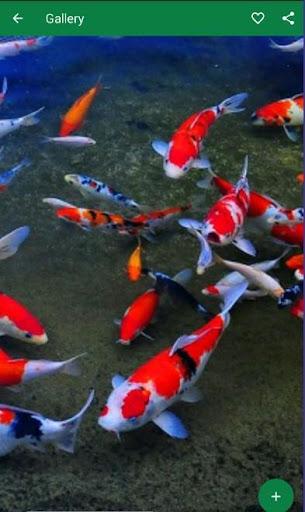 Wallpaper Ikan Hias Cantik Apk Download Apkpure Co