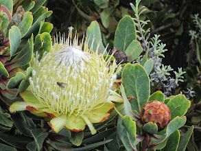 Photo: Protea