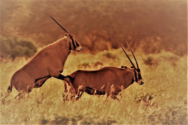 Due cuori e una savana di pierce