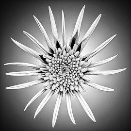 B&W flower 17 by Michael Moore - Black & White Flowers & Plants