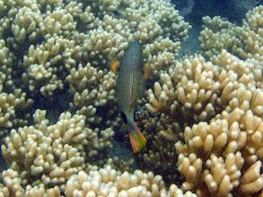 Photo: Balistapus undulatus (Orange-lined Triggerfish), Naigani Island, Fiji