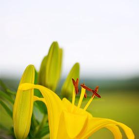 Daylily by Sandra Millsap - Nature Up Close Flowers - 2011-2013 ( daylily, yellow, flowers )