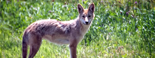 Coyote (Canis latrans), , Granby, Granby, 2017/07/22