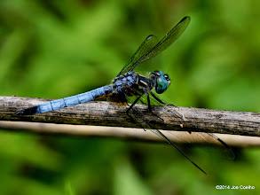 Photo: Blue Dasher, male